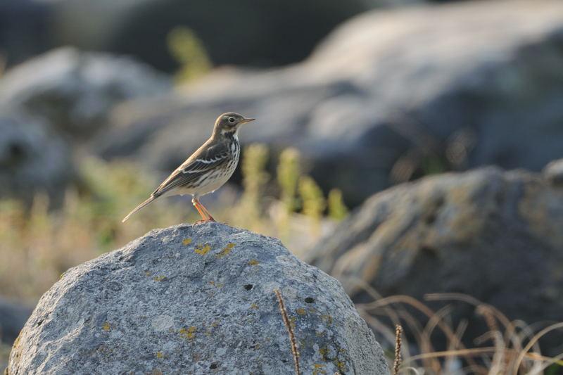 秋の渡りの野鳥-1(タヒバリ類)_d0099854_17332636.jpg