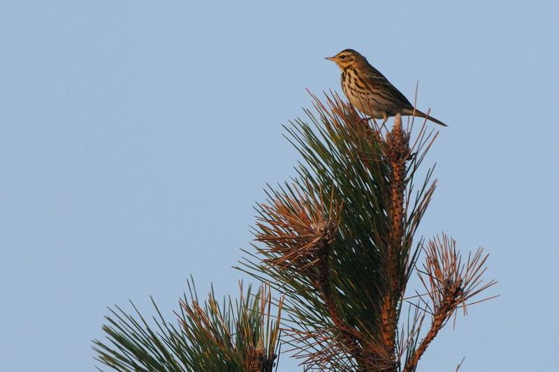 秋の渡りの野鳥-1(タヒバリ類)_d0099854_17404228.jpg