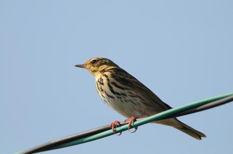 秋の渡りの野鳥-1(タヒバリ類)_d0099854_17405252.jpg