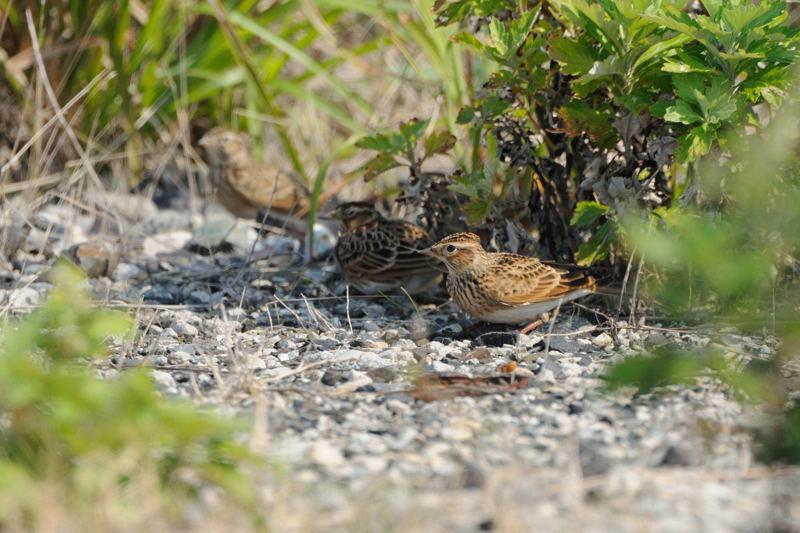 秋の渡りの野鳥-2(ヒバリ類)_d0099854_18212873.jpg