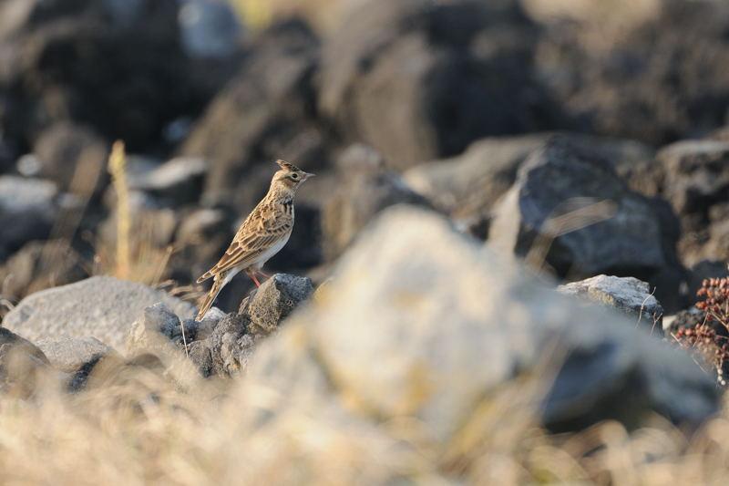 秋の渡りの野鳥-2(ヒバリ類)_d0099854_18222072.jpg