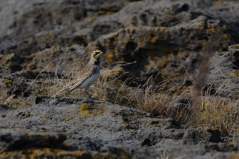 秋の渡りの野鳥-2(ヒバリ類)_d0099854_1842647.jpg