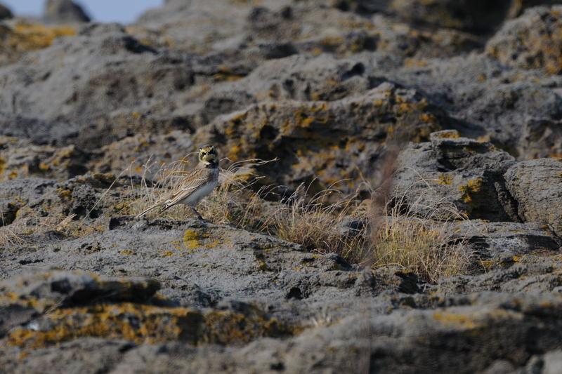 秋の渡りの野鳥-2(ヒバリ類)_d0099854_1882029.jpg
