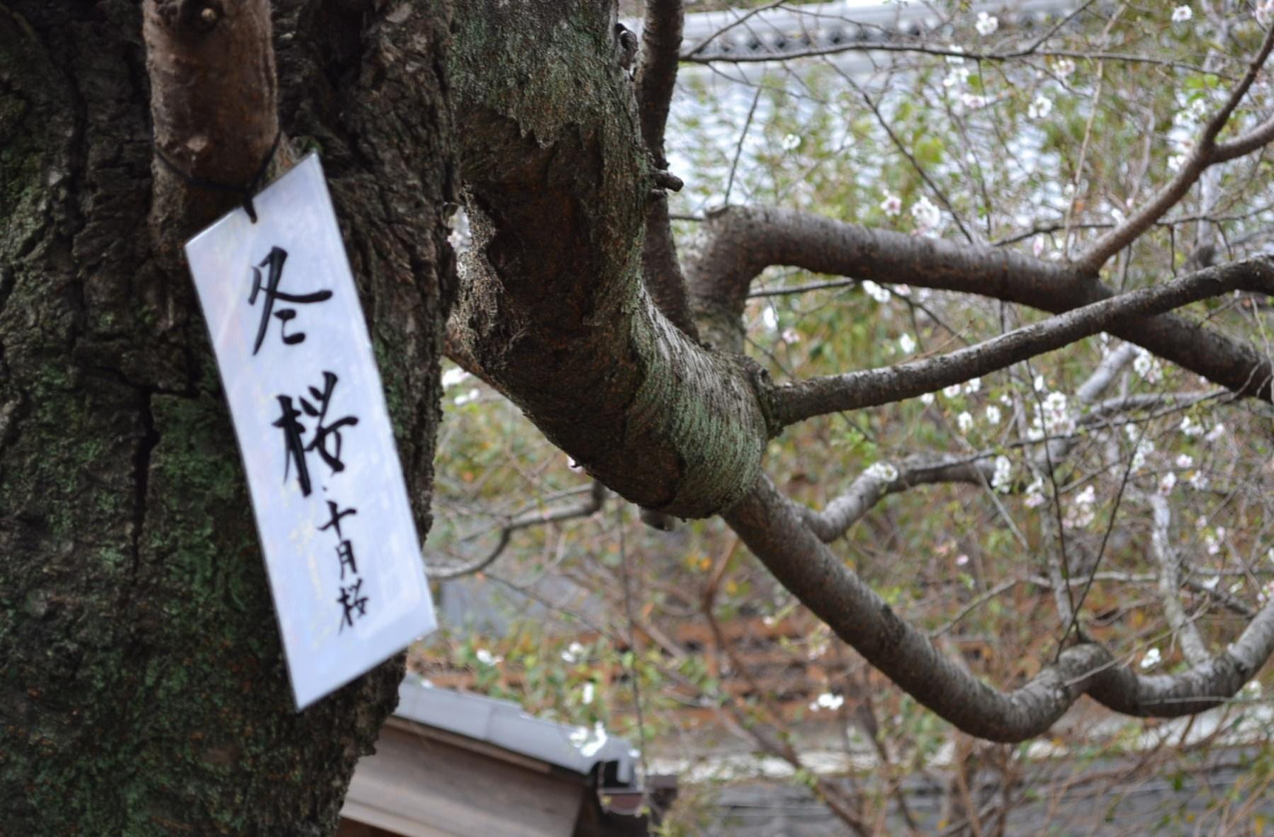 十月桜_e0094102_10114360.jpg