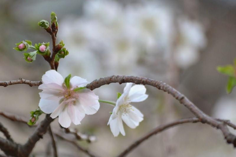 十月桜_e0094102_10133242.jpg
