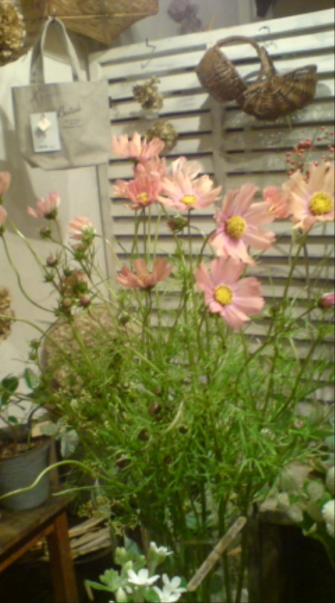 秋桜とオイルフラワー_c0103137_1750928.jpg