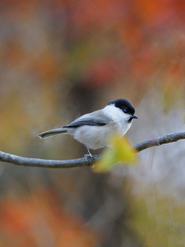 紅葉の小鳥たち(1)_a0204089_18491766.jpg