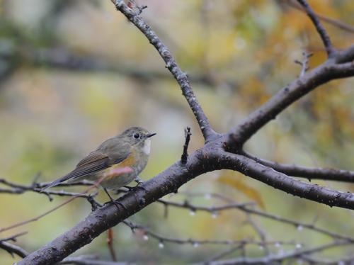 紅葉の小鳥たち(1)_a0204089_1849710.jpg