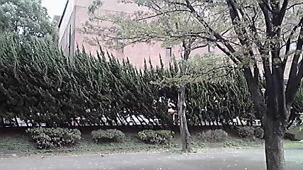 日本青年館の「杉」!_d0003502_2374974.jpg