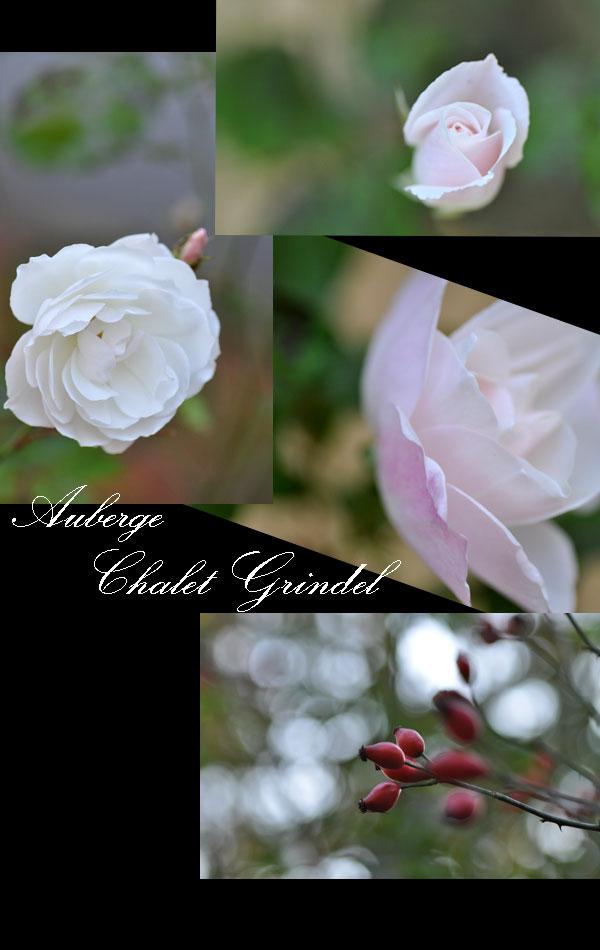 秋に咲く薔薇  シャレーグリンデル_d0109415_21343898.jpg