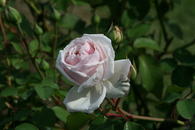 須磨離宮公園01フジバカマとアサギマダラ、薔薇園_a0030958_23121589.jpg