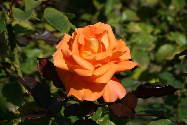 須磨離宮公園01フジバカマとアサギマダラ、薔薇園_a0030958_23123679.jpg