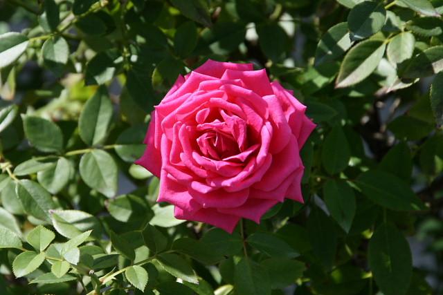 須磨離宮公園01フジバカマとアサギマダラ、薔薇園_a0030958_23141827.jpg