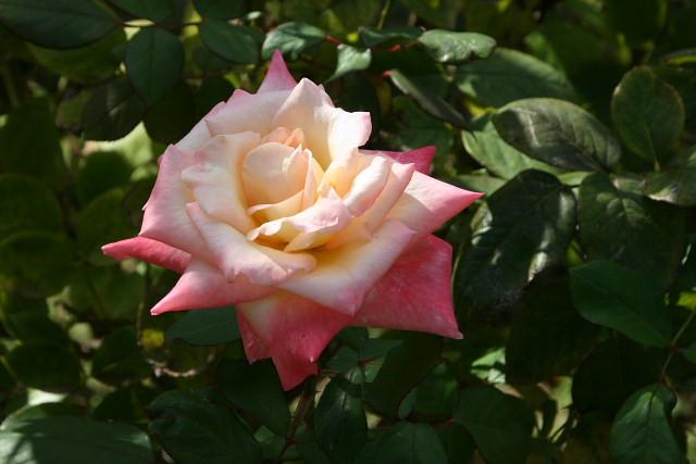 須磨離宮公園01フジバカマとアサギマダラ、薔薇園_a0030958_23145297.jpg