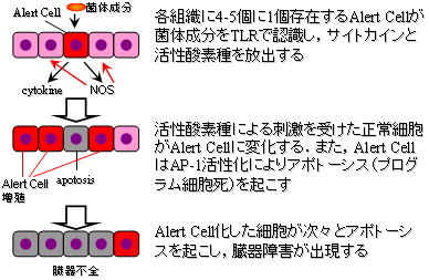 Alert Cell(警笛細胞)とROS(活性酸素種)_e0255123_19201519.png