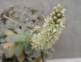 多肉に花が咲きました_b0087556_183151100.jpg