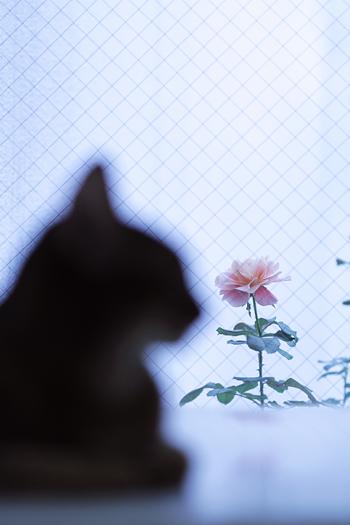 [猫的]薔薇と猫_e0090124_712978.jpg