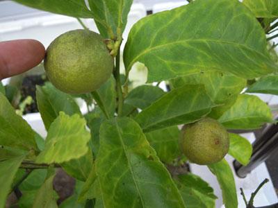 レモンを収穫_e0097534_14433780.jpg