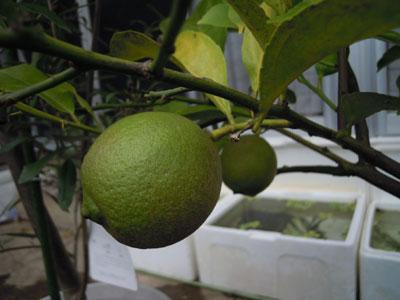レモンを収穫_e0097534_1443388.jpg