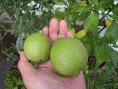 レモンを収穫_e0097534_14444680.jpg