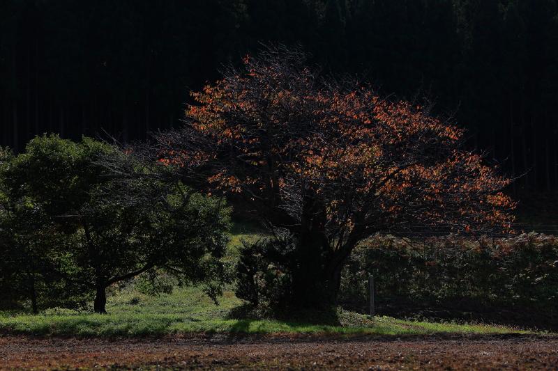 大洞の山桜(秋)_e0183063_17264637.jpg