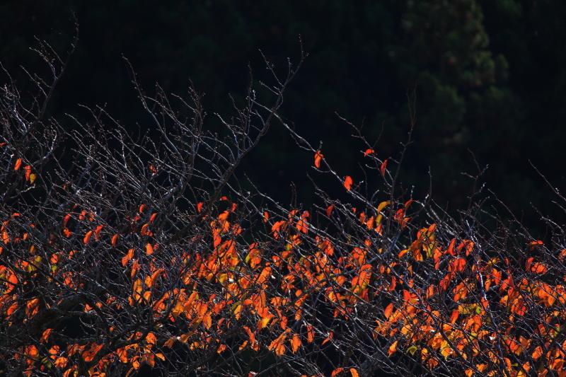 大洞の山桜(秋)_e0183063_17273455.jpg