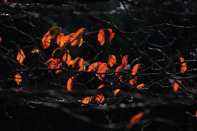 大洞の山桜(秋)_e0183063_1727730.jpg