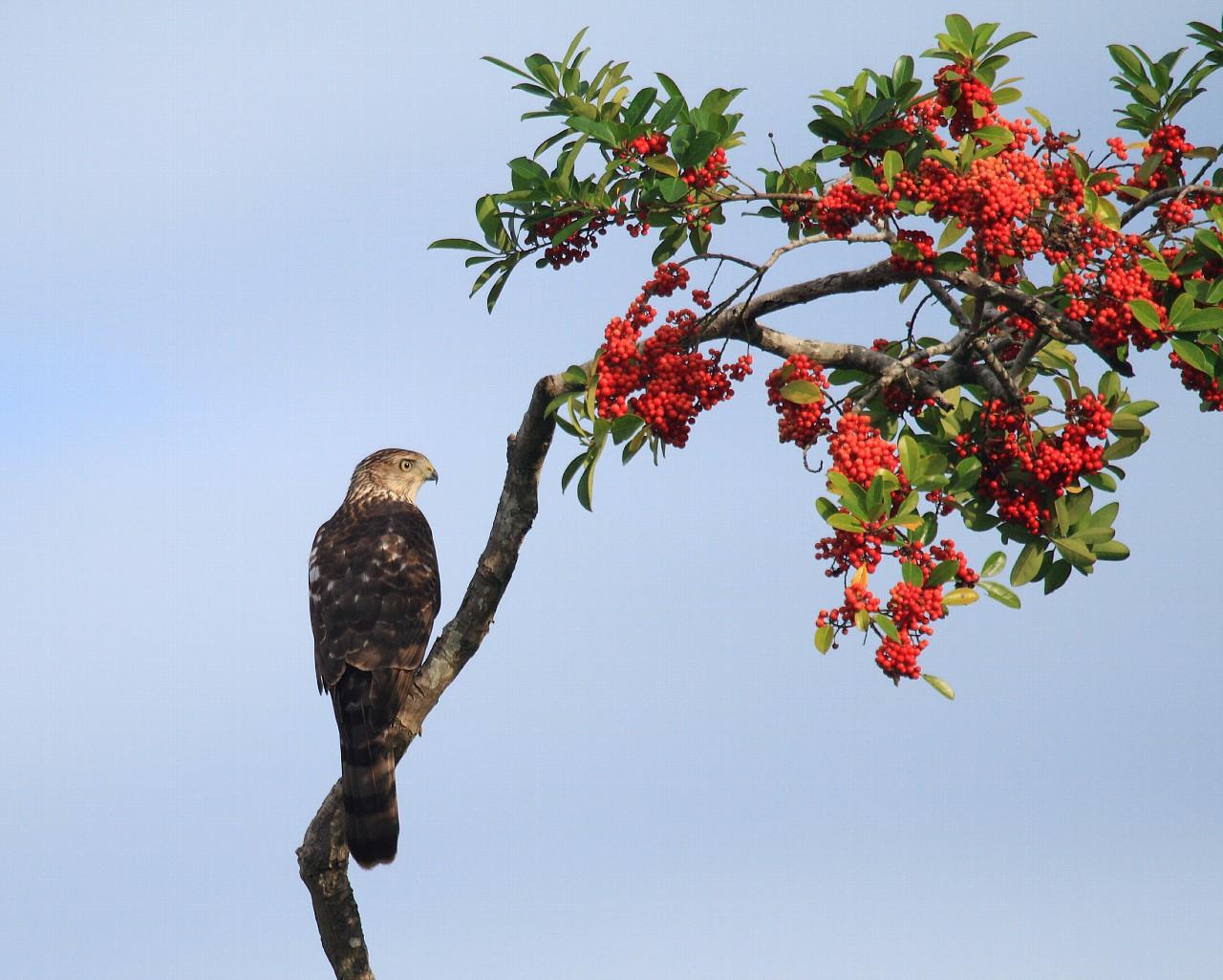 フロリダの野鳥その4: ハイタカ系の猛禽_f0105570_21374232.jpg