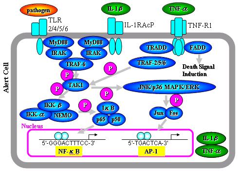 転写因子NF-κB,AP-1_e0255123_116435.png