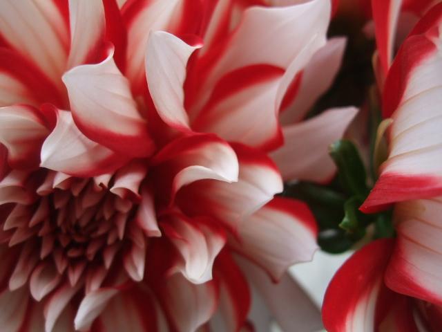 オークリーフ(紅茶色のジュリア)_f0049672_1745191.jpg