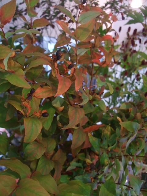 オークリーフ(紅茶色のジュリア)_f0049672_1751048.jpg