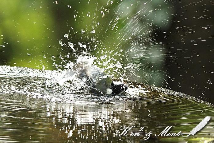 露天風呂?「シジュウカラ」さんの水浴び♪_e0218518_019082.jpg