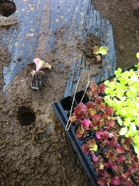 さあ レタスの定植・・今朝は大雨が降ったり止んだり_c0222448_11541537.jpg