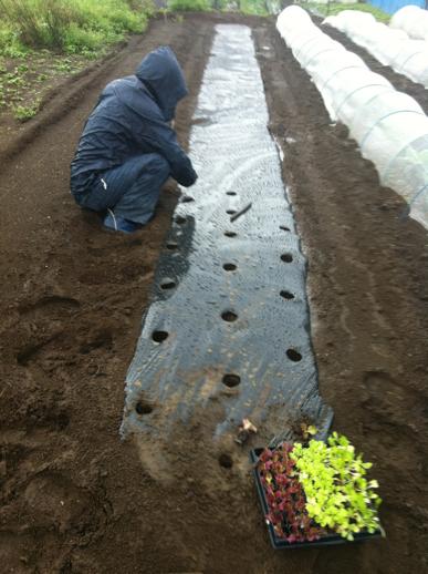 さあ レタスの定植・・今朝は大雨が降ったり止んだり_c0222448_1154202.jpg
