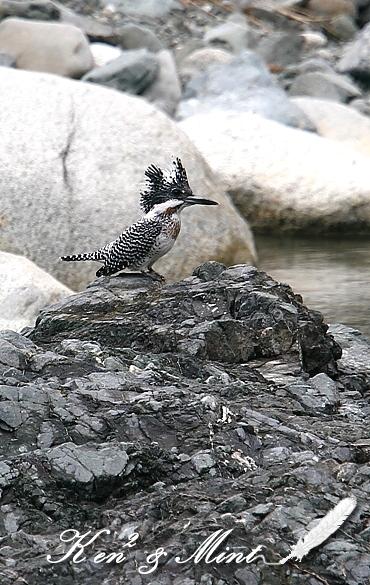 綺麗な渓流の中で憧れの「ヤマセミ」さん♪_e0218518_2211357.jpg