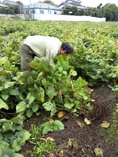 どら豆の収穫です。(イベントかな)_c0206545_20213786.jpg