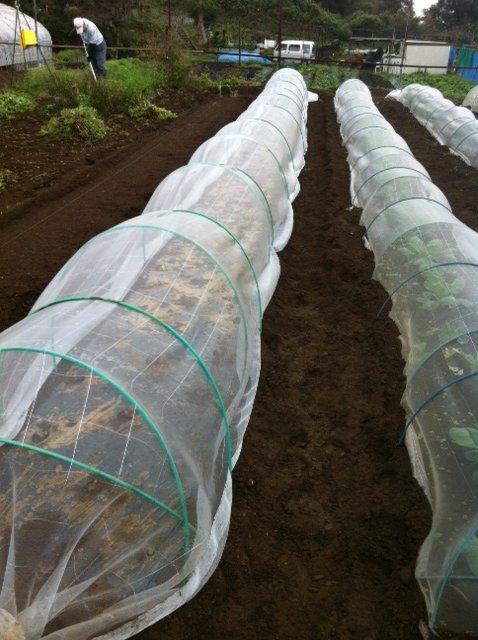 さあ AM8時鎌倉の畑は雨が上がりました レタスの定植です_c0222448_11532383.jpg