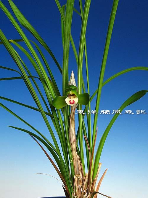 奥地蘭「豆弁蘭」の植え替え            No.1064_d0103457_0112367.jpg