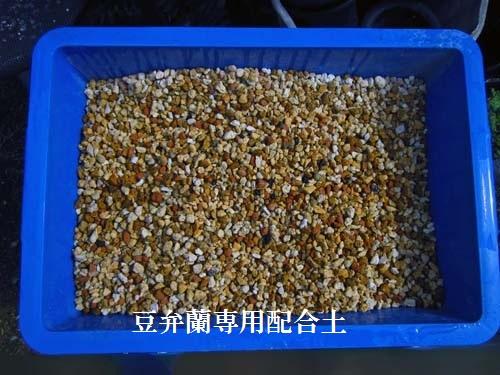 奥地蘭「豆弁蘭」の植え替え            No.1064_d0103457_0114615.jpg
