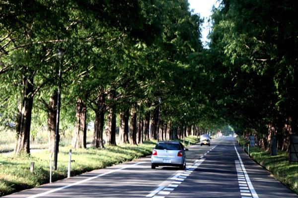 マキノ町のメタセコイヤの道_e0048413_13263539.jpg