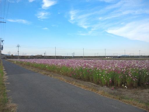 近江八幡市のコスモス畑_d0246960_20485214.jpg