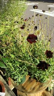 秋の花鉢_e0130779_13482992.jpg