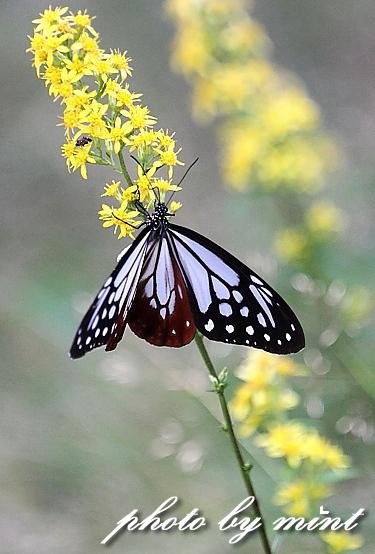 富士山で出逢った蝶々「アサギマダラ」と「キベリタテハ」_e0218518_054475.jpg