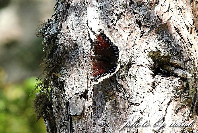 富士山で出逢った蝶々「アサギマダラ」と「キベリタテハ」_e0218518_063187.jpg
