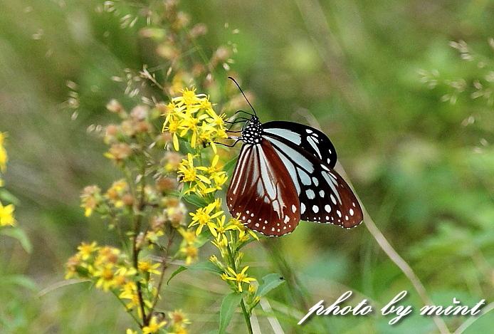 富士山で出逢った蝶々「アサギマダラ」と「キベリタテハ」_e0218518_06954.jpg