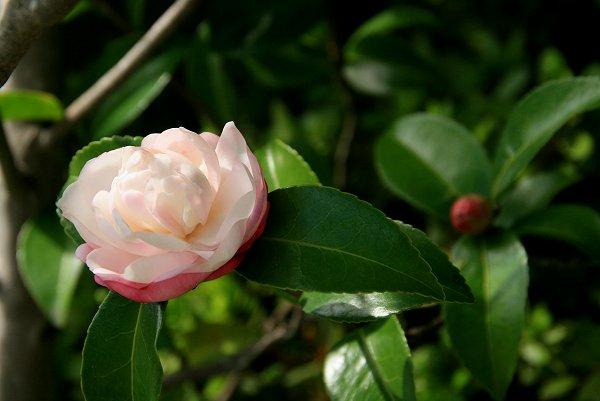 山茶花の季節が始まりました_d0030373_13424773.jpg
