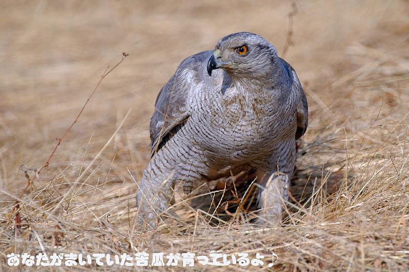 シロオオタカ_f0059882_1942681.jpg