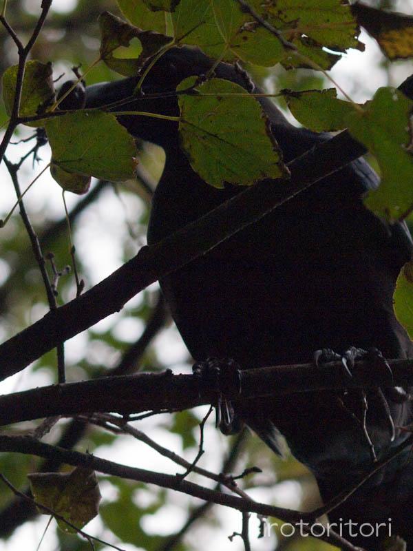 多摩動物園の野鳥 ハシブトガラス  2011/10/24 _d0146592_23473760.jpg