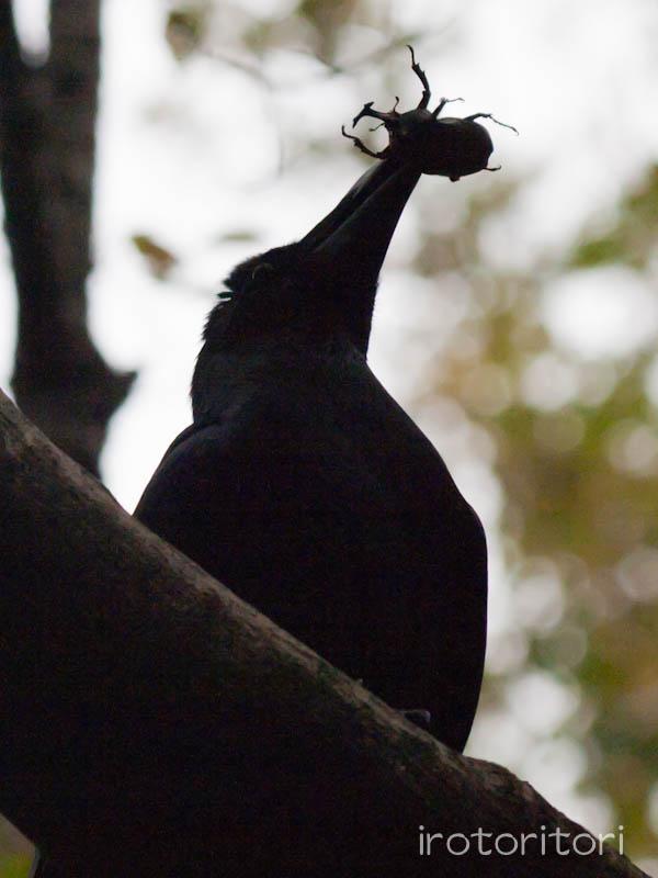 多摩動物園の野鳥 ハシブトガラス  2011/10/24 _d0146592_23475489.jpg