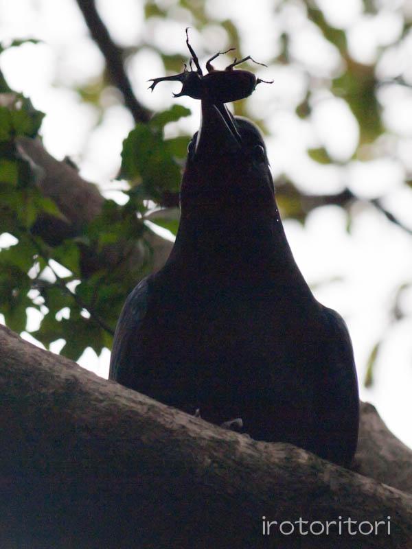 多摩動物園の野鳥 ハシブトガラス  2011/10/24 _d0146592_23482092.jpg